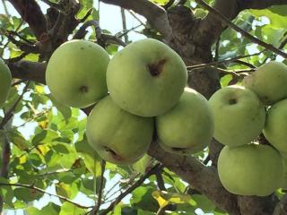 園庭リンゴはアップルパイに最高